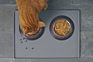 A cute cat eating his cat food in his stainless steel bowl, Should You Warm Up Wet Cat Food?