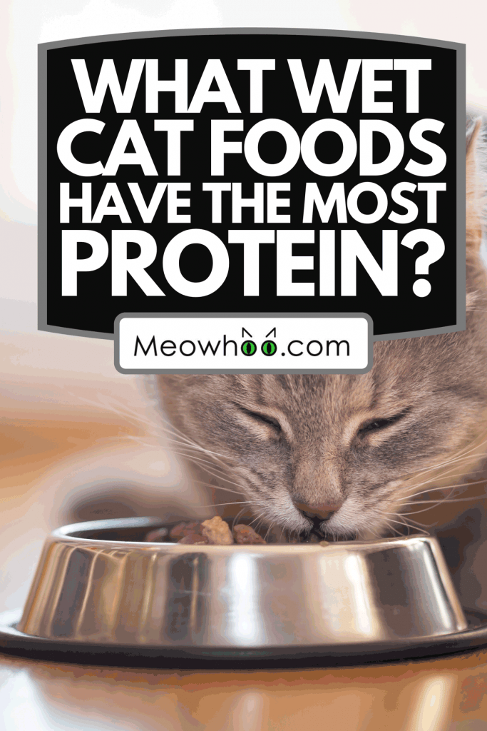 A beautiful tabby cat eating on a food bowl, What Wet Cat Foods Have The Most Protein?