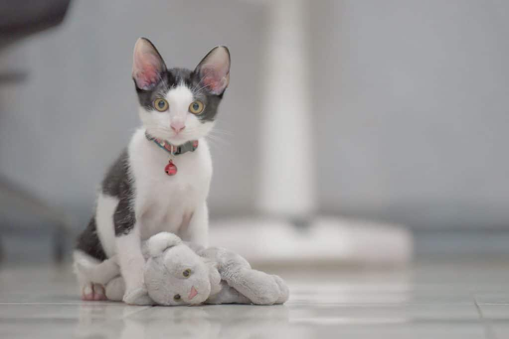 A cute gray kitten playing with his kitten doll