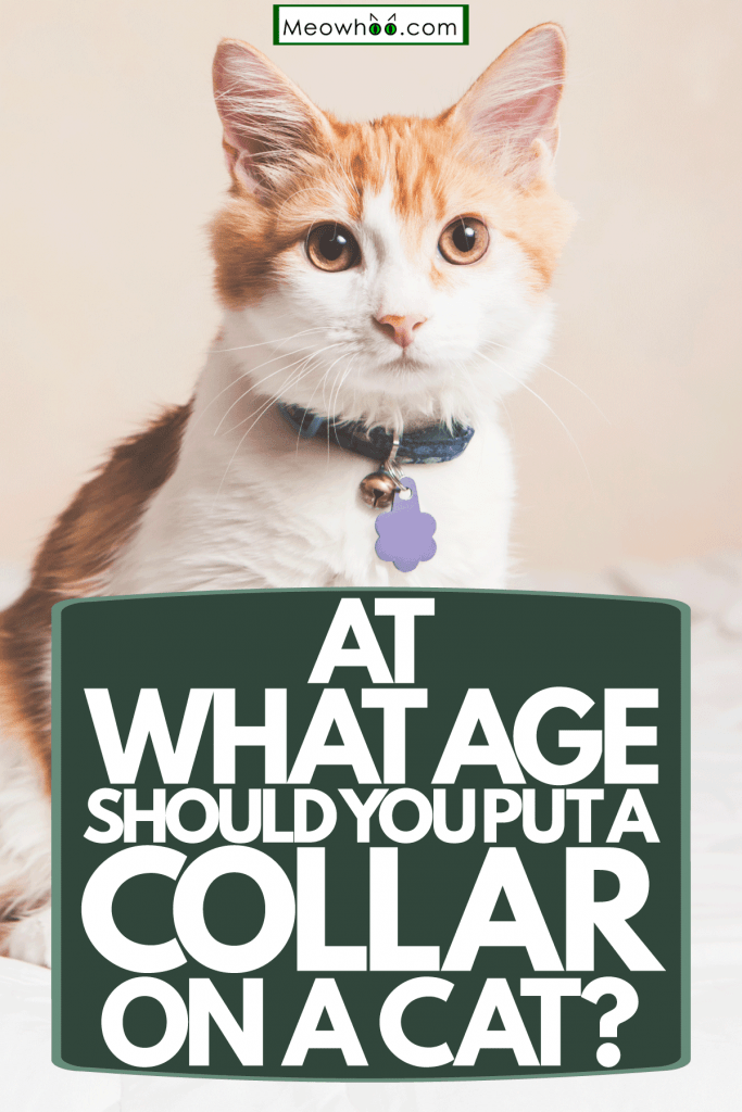 AA cute domestic cat wearing a black collar sitting on the bed, At What Age Should You Put A Collar On A Cat?