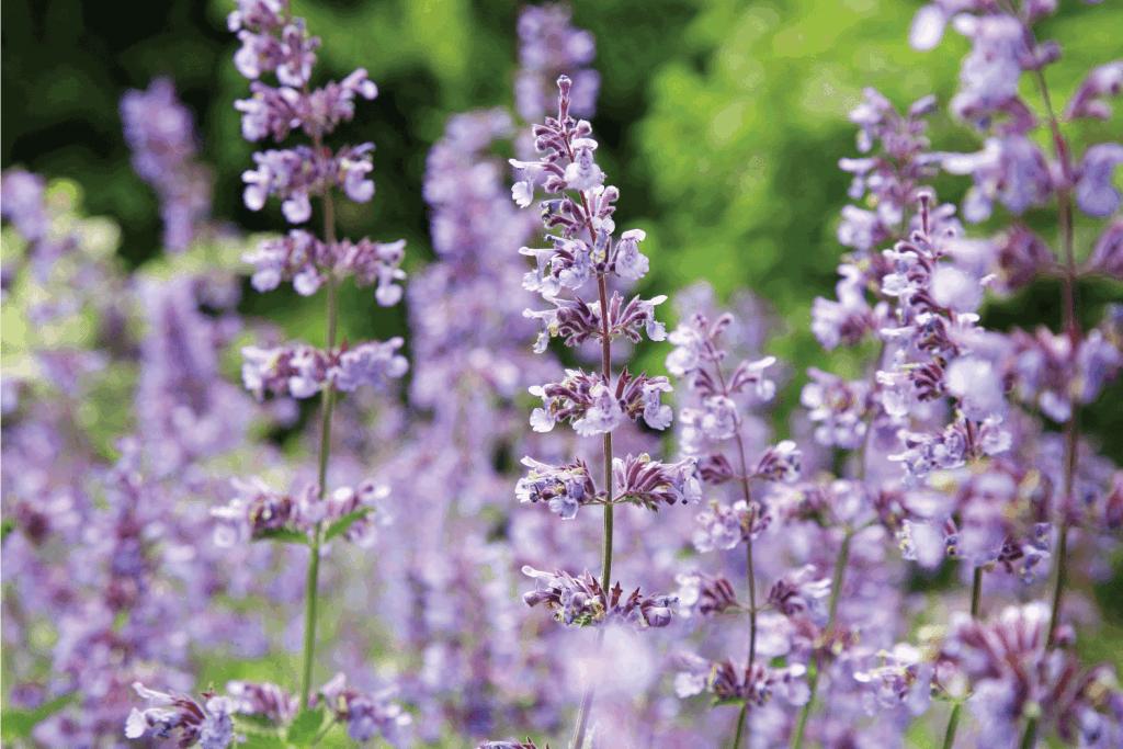 Catnip flowers (Nepeta) in full bloom