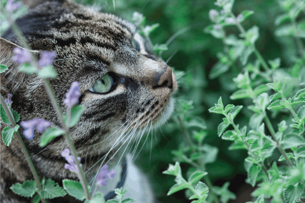 Gray tabby cat sniffing catnip plant with flowers in the summer garden