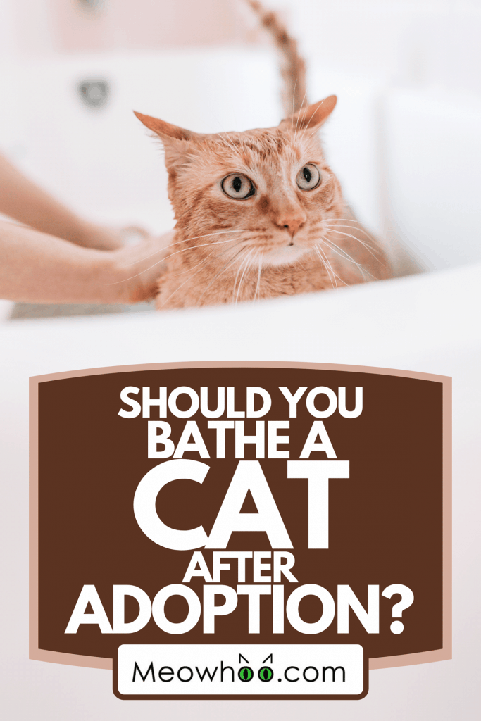 A domestic yellow cat bathing, Should You Bathe A Cat After Adoption?