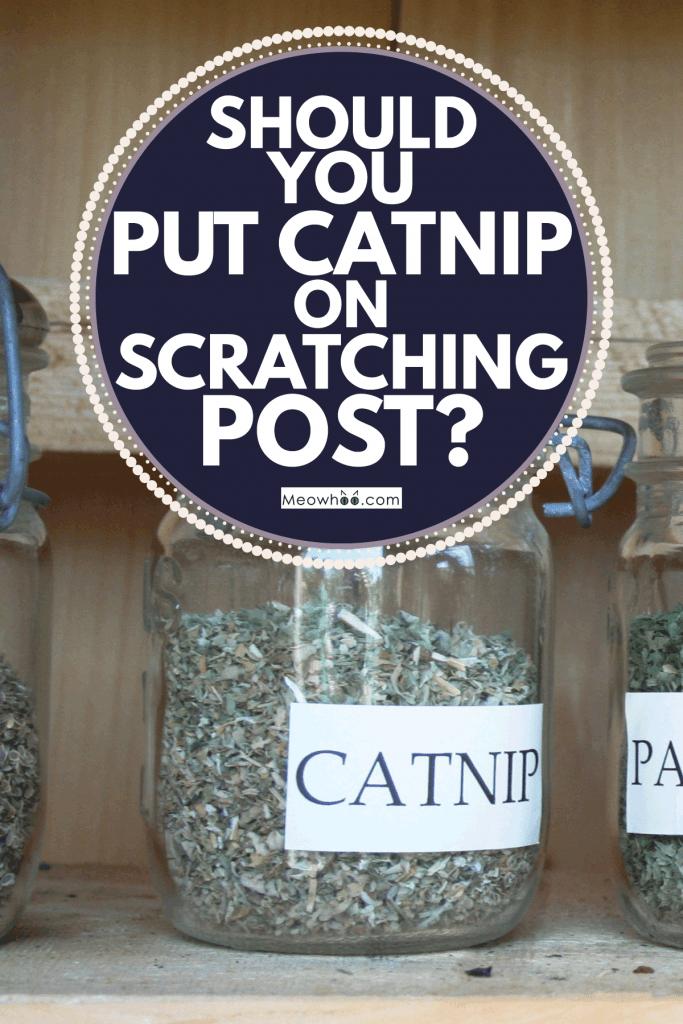catnip dried herb inside a mason glass jar, Should You Put Catnip on Scratching Post