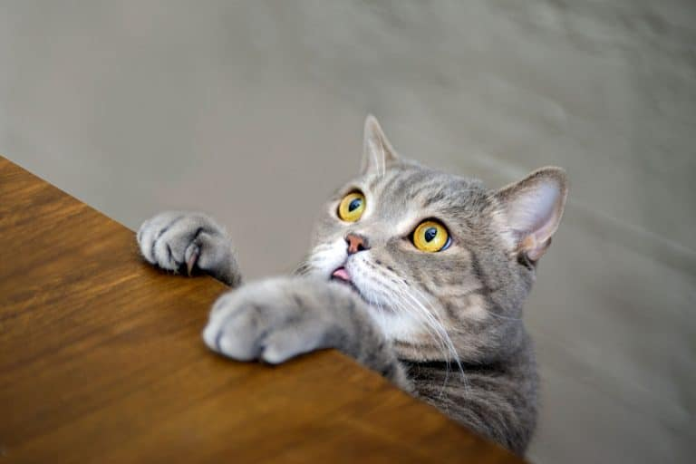 A British shorthair cat climbing on top of the table, Can Cats Eat Doritos?