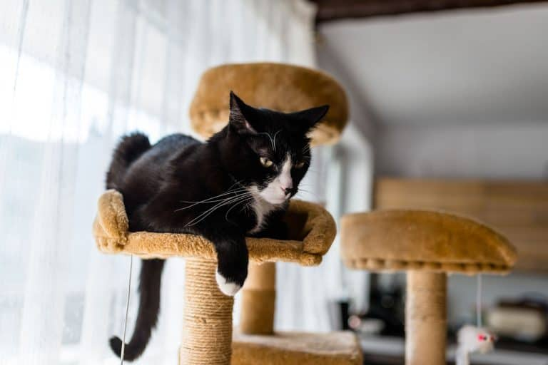 A cat resting in his small carpeted cat tree inside a living room, How Big Should A Cat Tree Be?