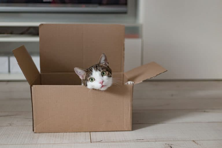 A cat sitting inside his small carboard box home, Can Cats Eat Donuts?