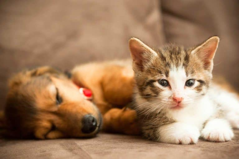 A friendly puppy and a kitten lie together on a couch, Can You Use A Cat Collar On A Puppy?
