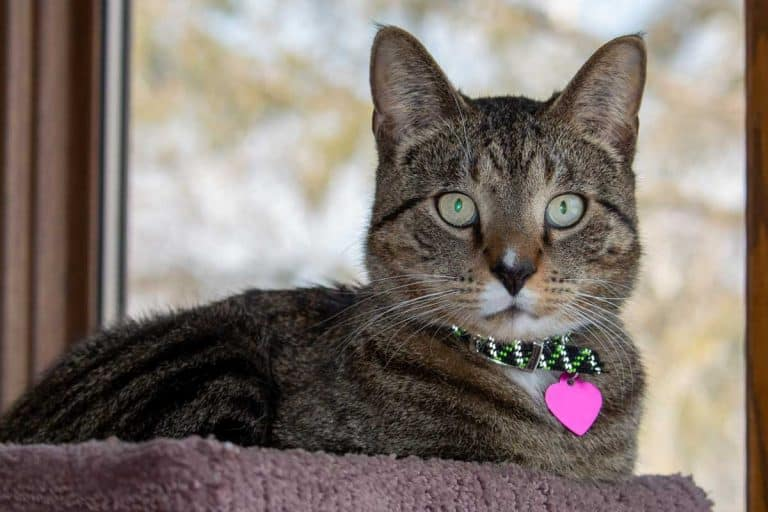A gray stripe domestic tabby cat relaxing in a carpeted indoor cat tree in front of a large window, Can A Cat Collar Cause Hair Loss?