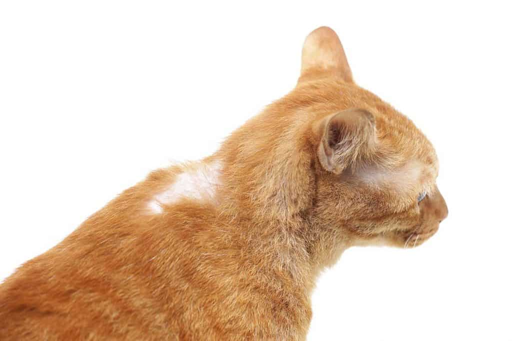 A yellow cat with fur fall out at its neck