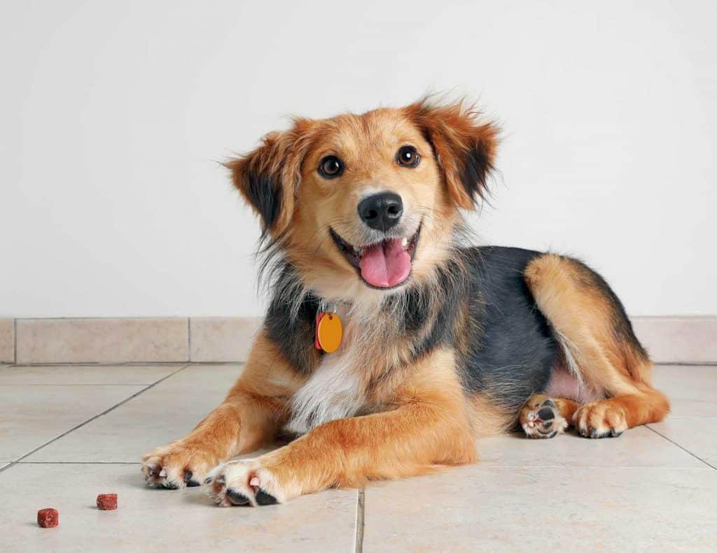 Australian Shepherd Dog in animal shelter waiting to be adopted