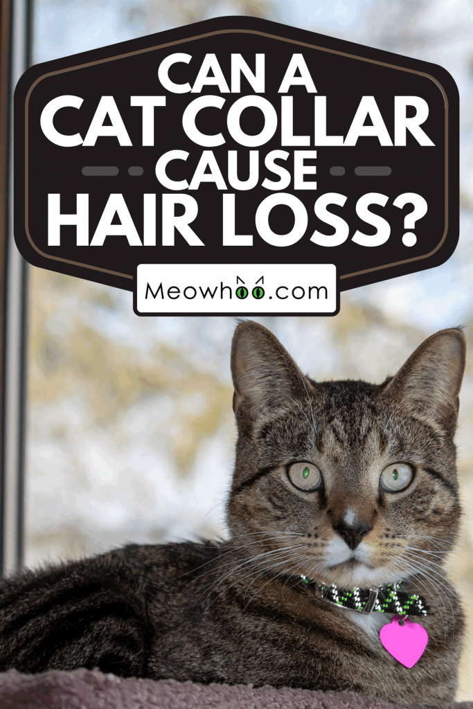 Gray stripe domestic tabby cat relaxing in a carpeted indoor cat tree in front of a large window, Can A Cat Collar Cause Hair Loss?