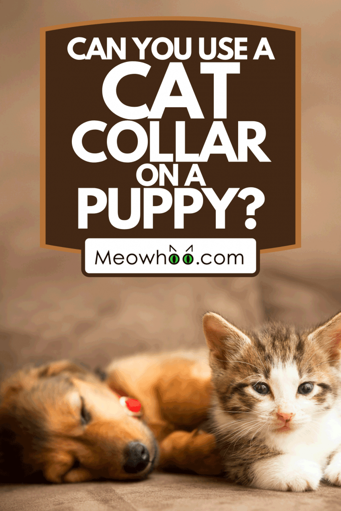 Friendly puppy and a kitten lie together on a couch, Can You Use A Cat Collar On A Puppy?