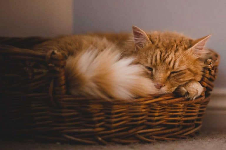 Domestic cat sleeping soundly in its bed in a residential home, Should Each Cat Have Their Own Bed?