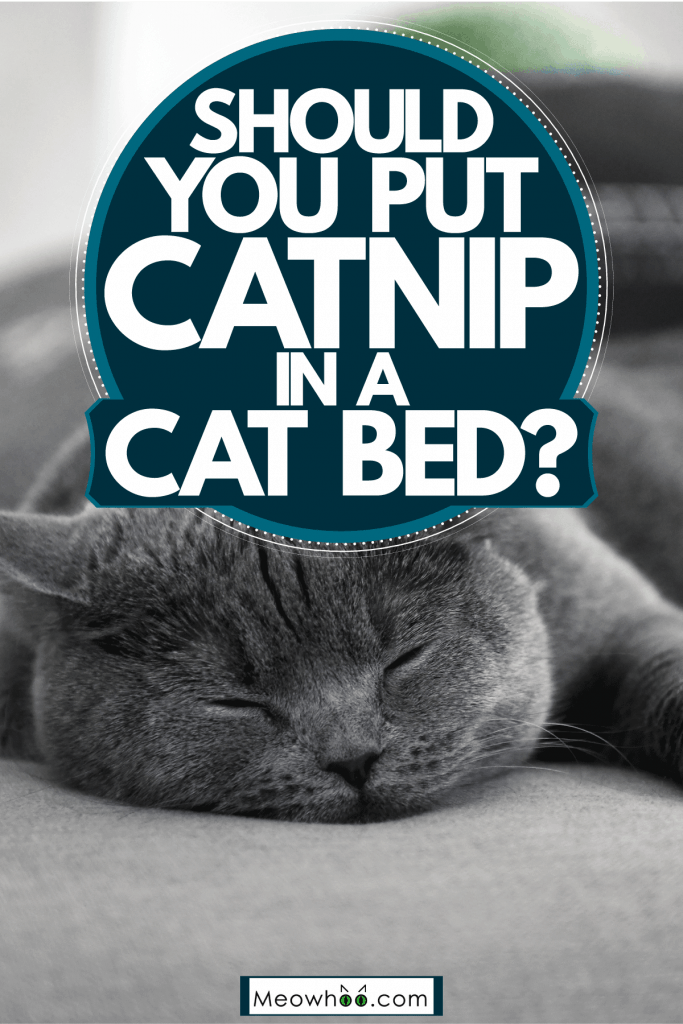 A British shorthair cat sleeping on the gray sofa, Should You Put Catnip In A Cat Bed?