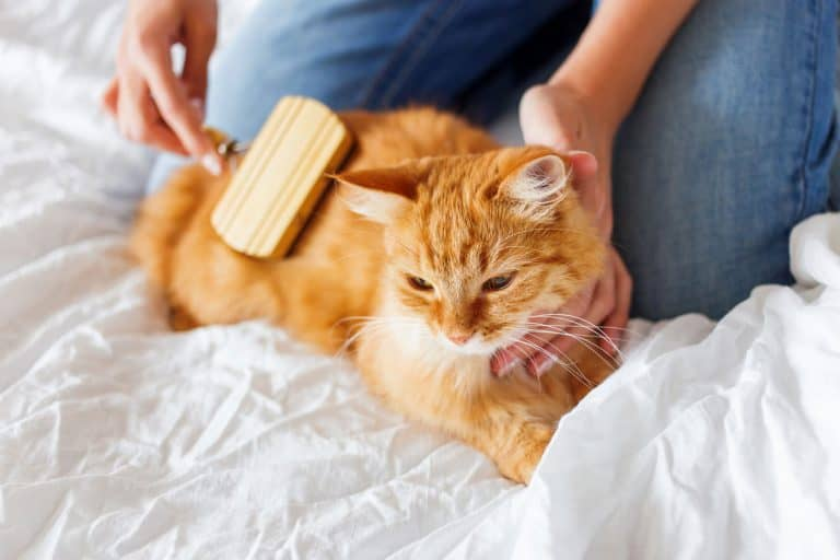 Woman combs a dozing cat's fur. Ginger cat's head lies on woman hand., Can You Over Brush A Cat?