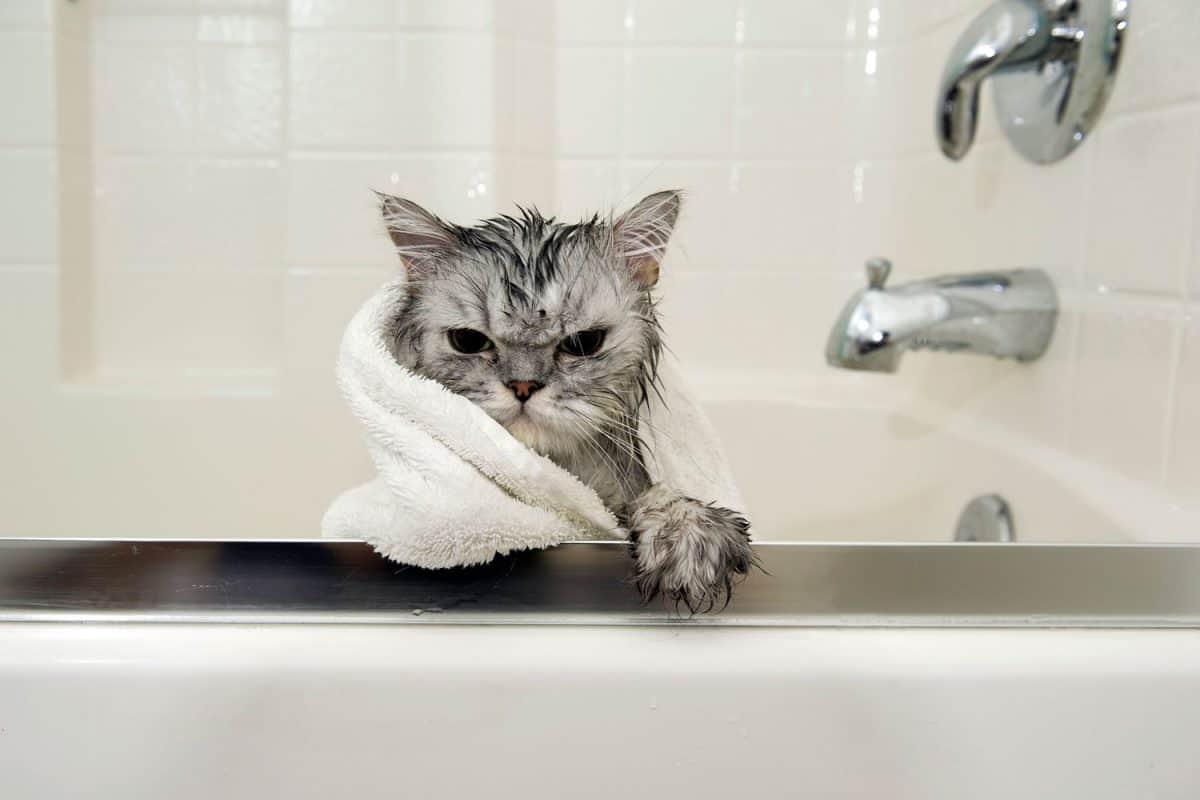 A Persian cat getting a bath