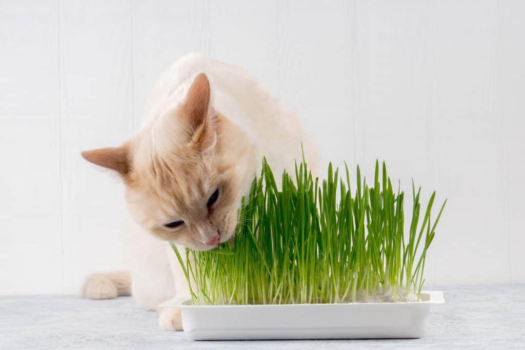 A cat eating fresh grass