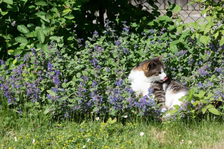 A cat playing on the small catnip garden, Catnip Not Working - What's Wrong?