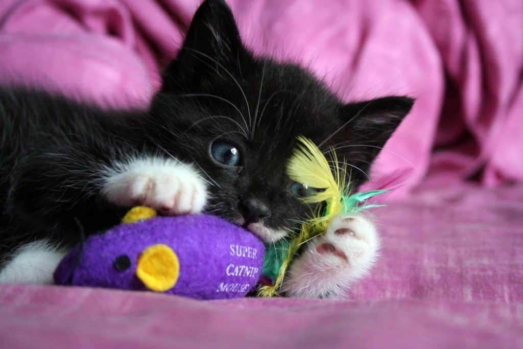 A cat playing with catnip mouse on the couch