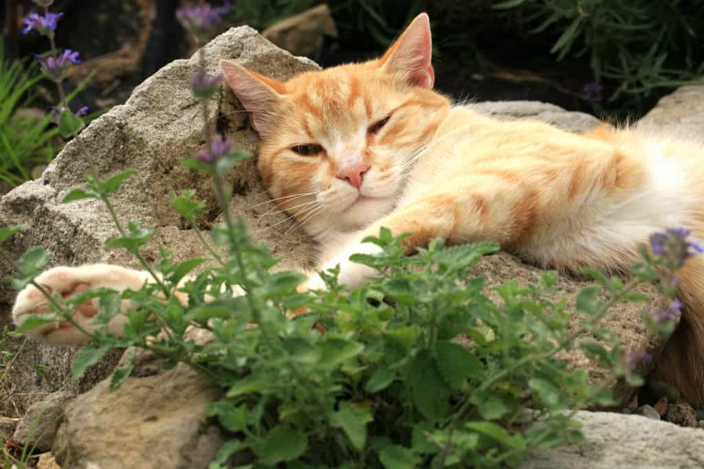 A cat sleeping on the rock staring at the fresh catnip
