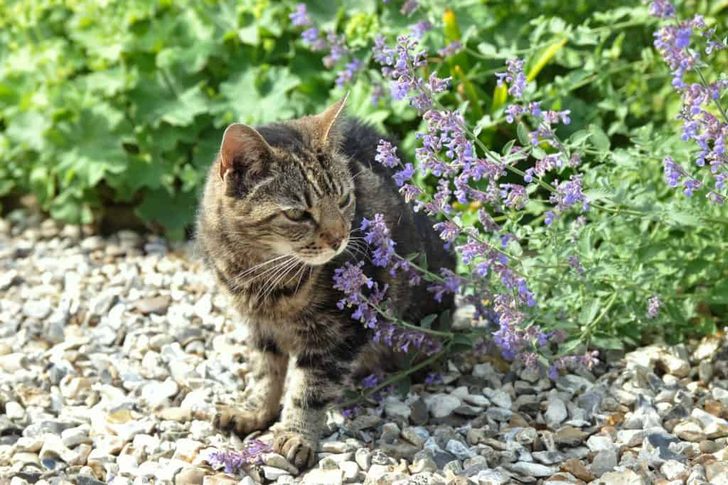 A cat smelling catnip in the garden, How Fast Does Catnip Work?
