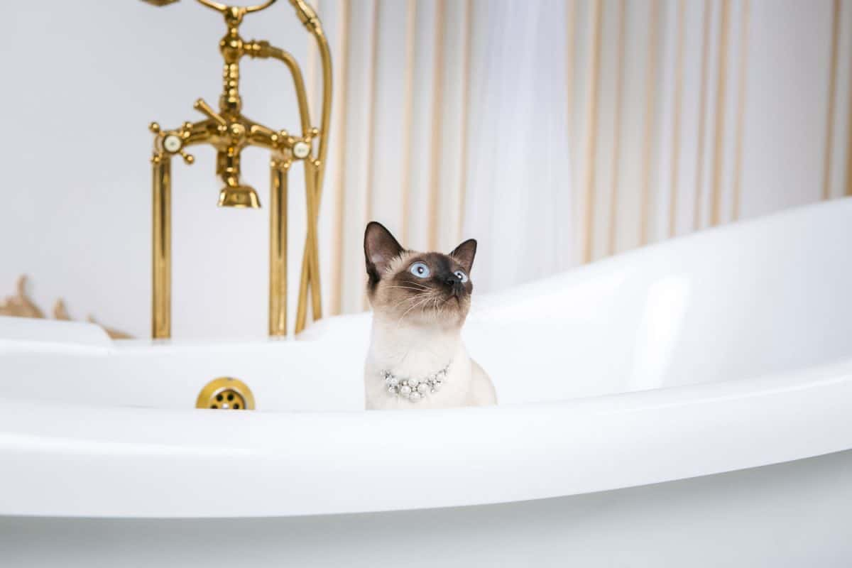 A cat without a tail of the Mekong Bobtail breed in a retro bathroom in the interior of the Barocoo Versailles Palace