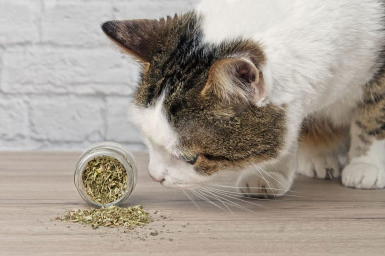 A cute domestic at smelling a small jar filled with catnip, 3 Catnip Alternatives To Consider