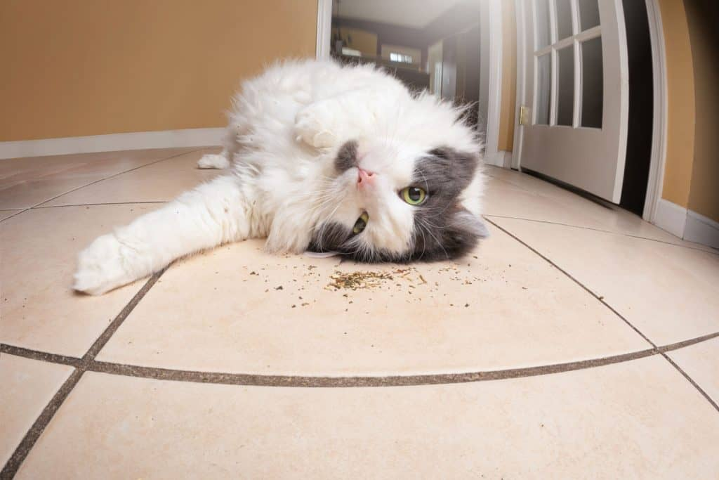 A cute fluffy cat lying on the floor playing with catnip