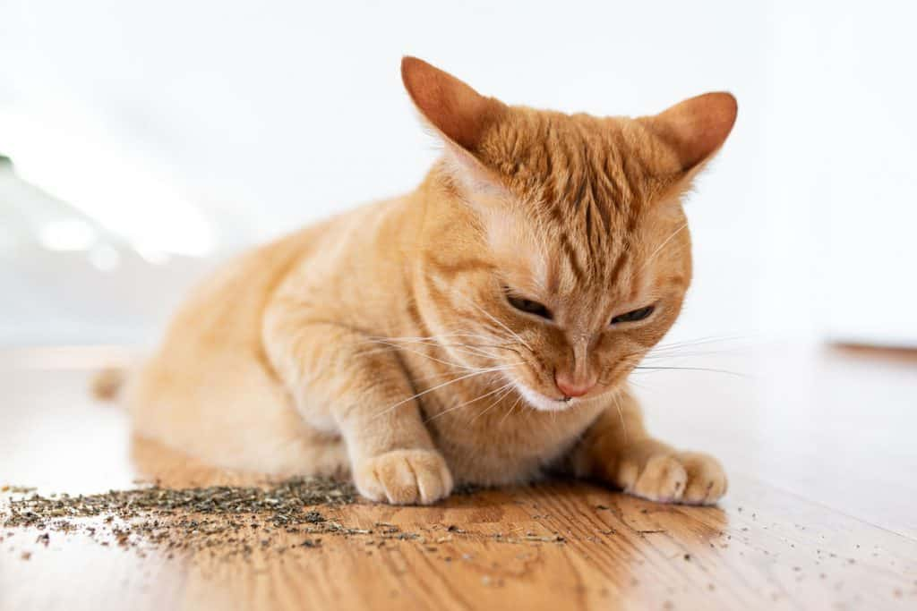 A cute ginger cat smelling catnip on the floor