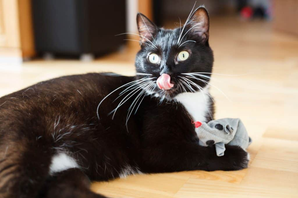 A cute little cat licking his nose and playing with his catnip mouse toy