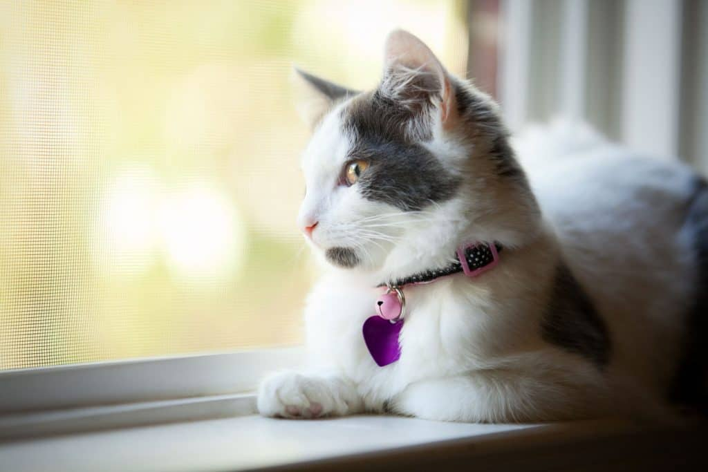 A cute little cat lying on the window wearing a violet colored collar