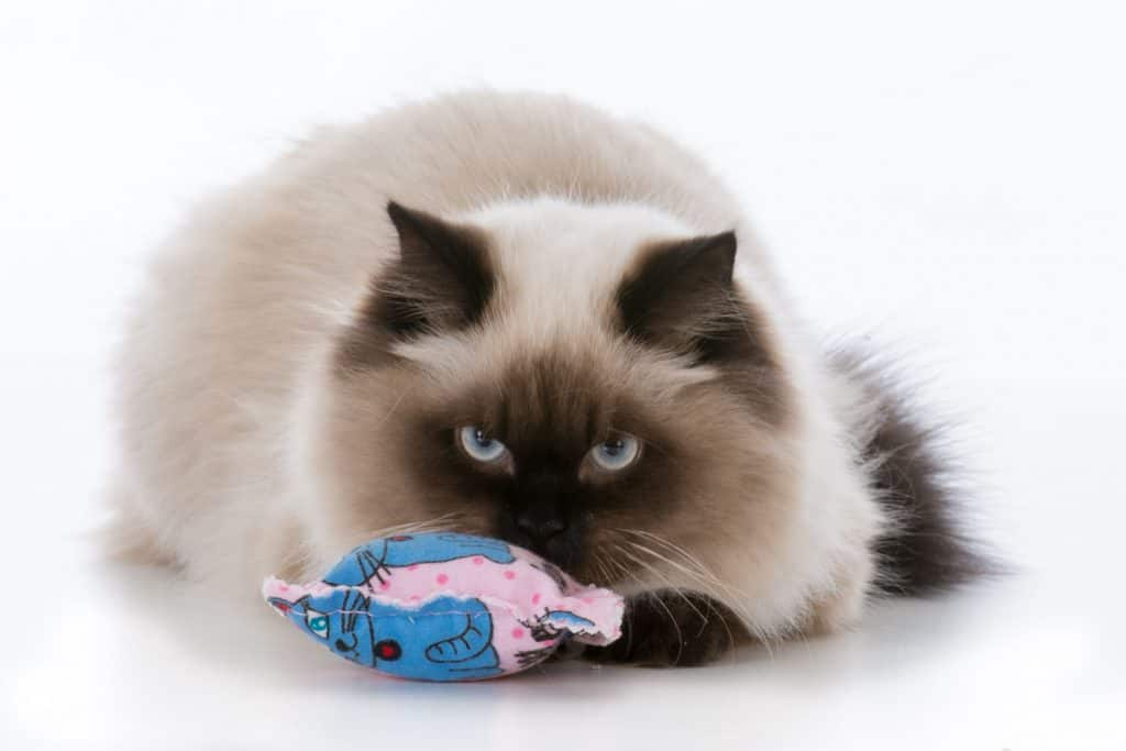 A cute ragdoll kitten playing with his catnip toy on a white background