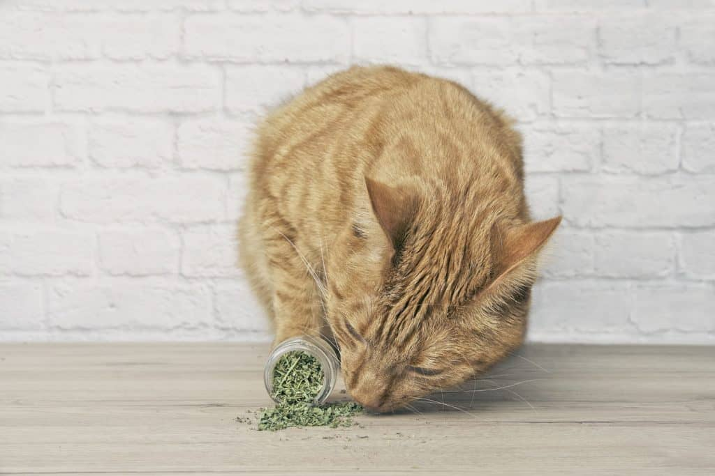 A grown ginger cat smelling catnip on the table