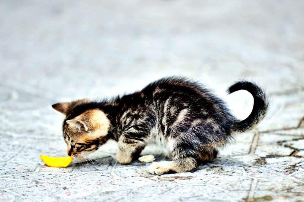 A cute little kitten eating a small piece of French fries