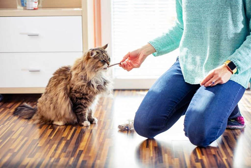 Adult female pet owner feeding her Siberian cat