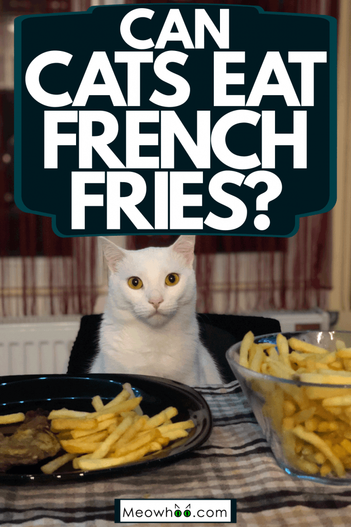 A cute little cat sitting on the chair and eating French Fries, Can Cats Eat French Fries?