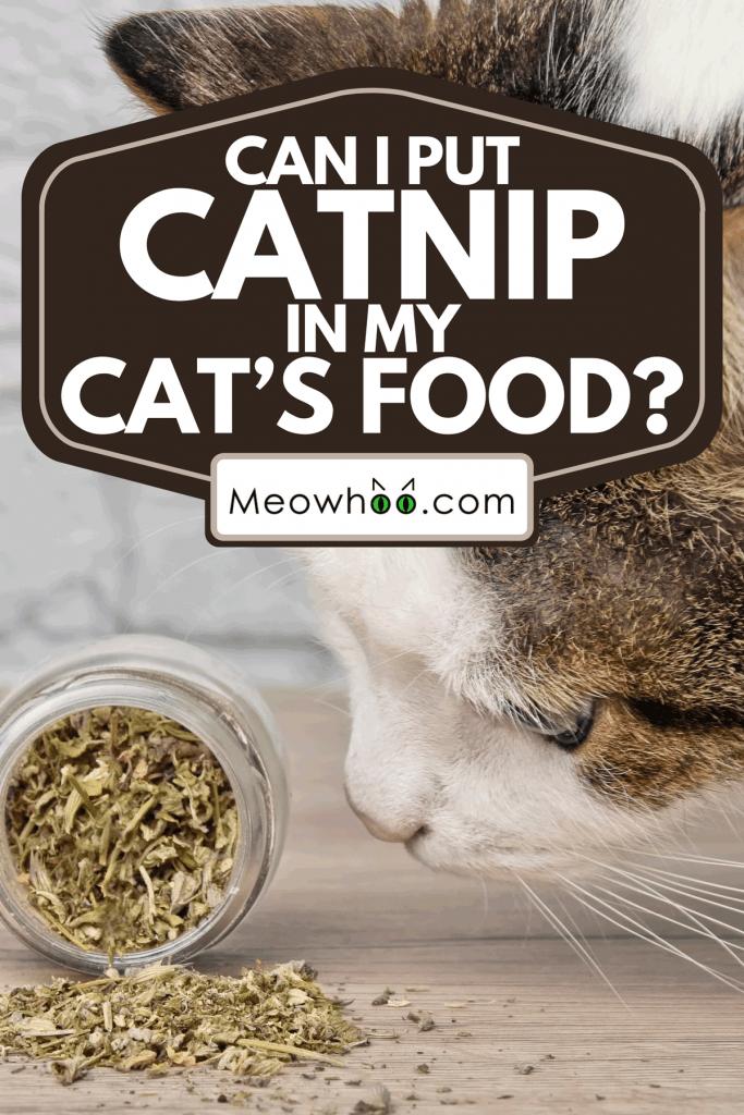 A cute tabby cat sniffing dried catnip, Can I Put Catnip In My Cat's Food?