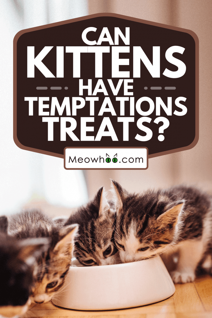 A litter of kittens eating together from a food bowl, Can Kittens Have Temptations Treats?