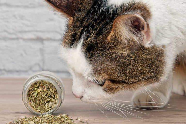 Cute tabby cat sniffing dried catnip, Can I Put Catnip In My Cat's Food?