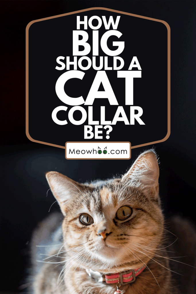 A gray tabby is wearing a pink collar, How Big Should A Cat Collar Be?