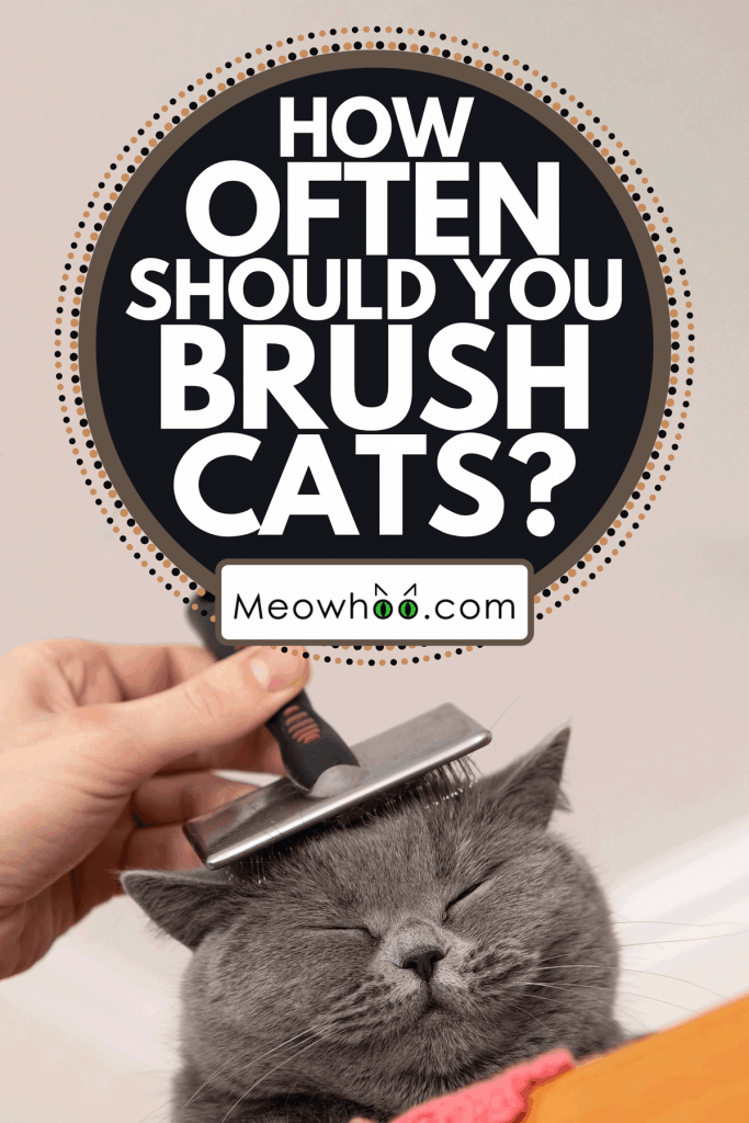 A British shorthair cat gets groomed, How Often Should You Brush Cats?