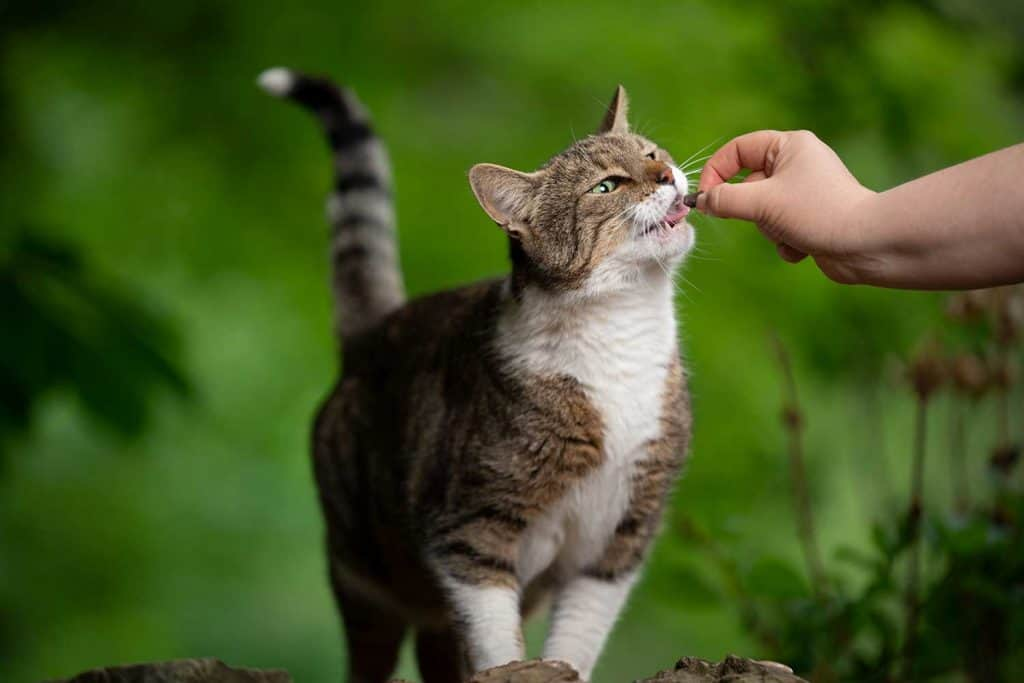 Pet owner feeding tabby white cat outdoors in nature with treat