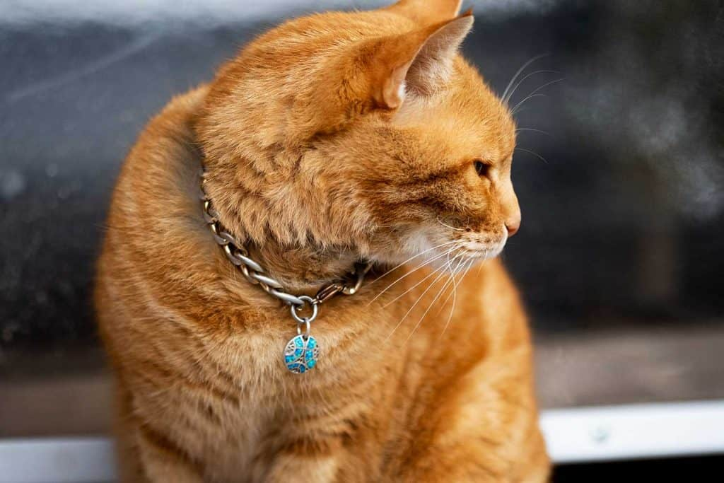 Portrait of a Ginger kitten with collar