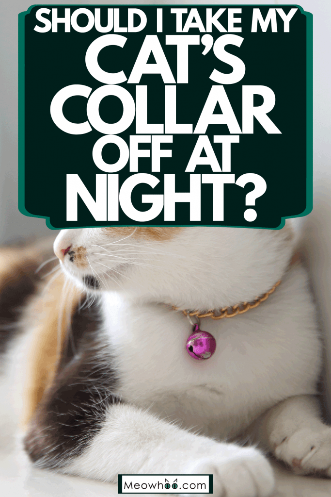 A cute fluffy domestic cat wearing a pink bell collar, Should I Take My Cat's Collar Off At Night?