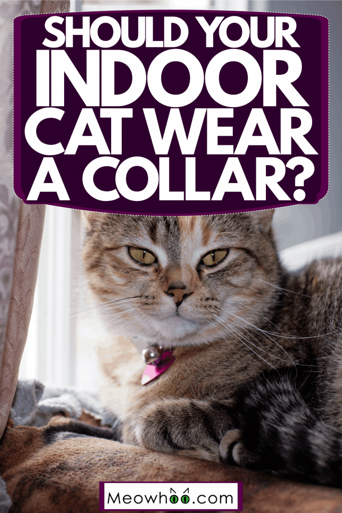 A cute indoor cat wearing a violet collar and starring at the window, Should Your Indoor Cat Wear A Collar?