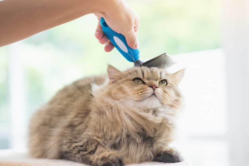 Woman using a comb brush the Persian cat