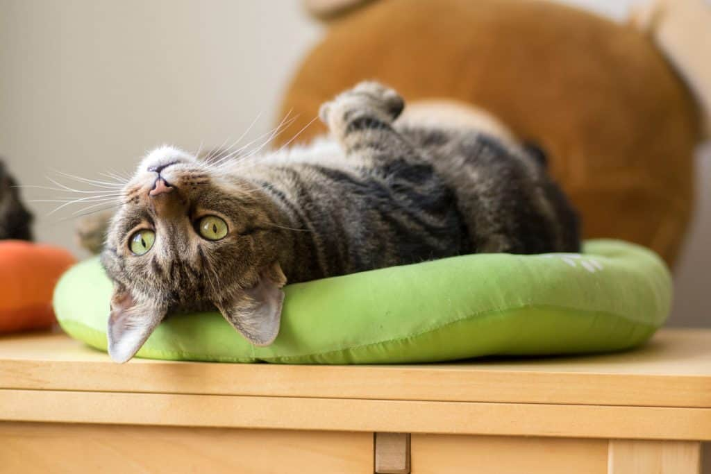 A domestic cat sleeping on his green cat bed