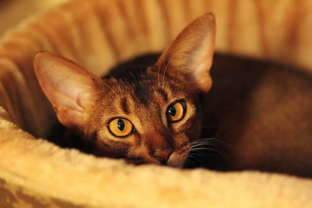 A pure bread Abyssinian cat lying in his cat bed