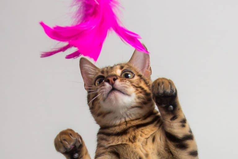 Bengal cat playing on white background, How Long Should I Play With My Cat Before Bed?